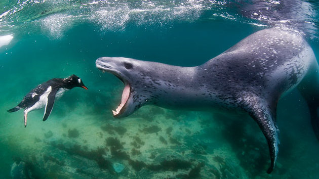 seal eats penguin